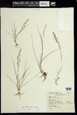 Image of Eragrostis acutiflora