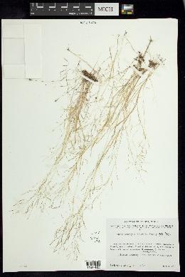 Muhlenbergia flavida image