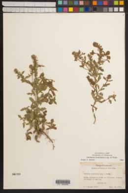 Verbena bracteata image