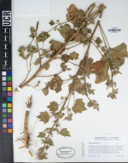 Malva nicaeensis image