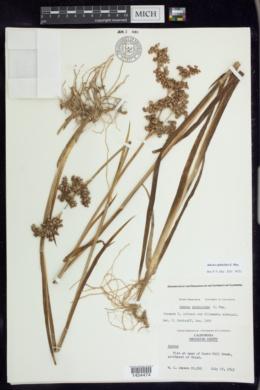 Juncus xiphioides image