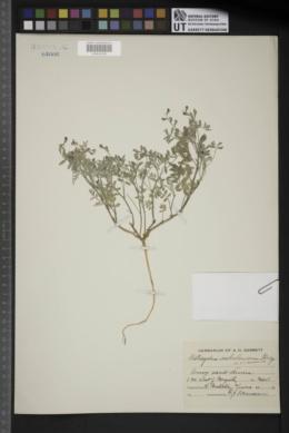 Image of Astragalus sabulorum