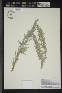 Artemisia cana var. cana image