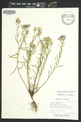 Dieteria canescens var. ambigua image