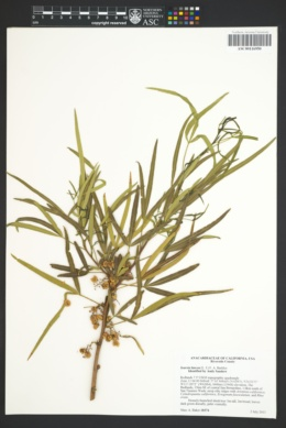 Image of Searsia lancea