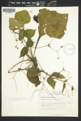 Milleria quinqueflora image
