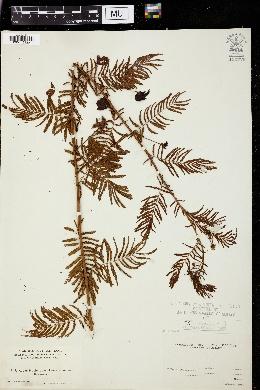 Acacia filicina image