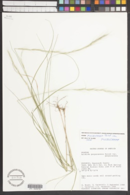 Aristida purpurascens image