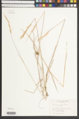 Image of Agrostis buchtienii