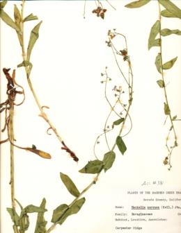 Image of Hackelia nervosa