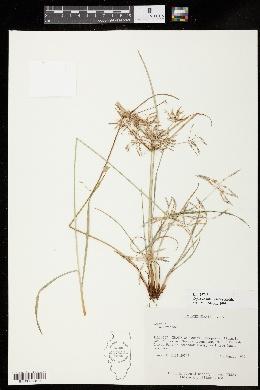 Image of Cyperus sphacelatus
