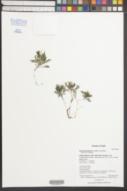 Askellia pygmaea image
