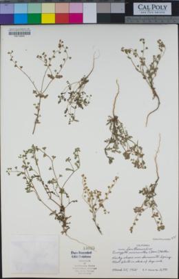 Eucrypta micrantha image
