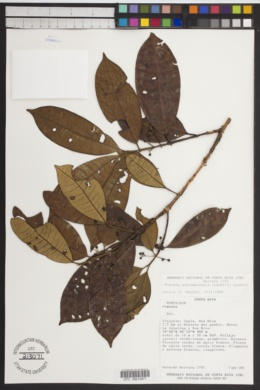 Pimenta guatemalensis image