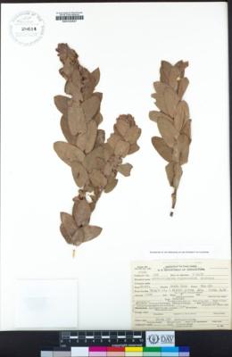 Arctostaphylos regismontana image