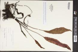 Rumex thyrsiflorus image
