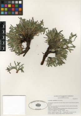 Image of Cryptantha capituliflora
