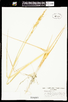 Spartina foliosa image