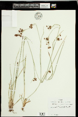 Image of Rhynchospora compressa