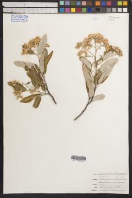 Vauquelinia californica image