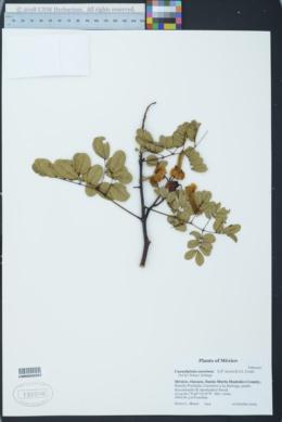 Image of Caesalpinia coccinea
