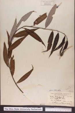 Salix babylonica image