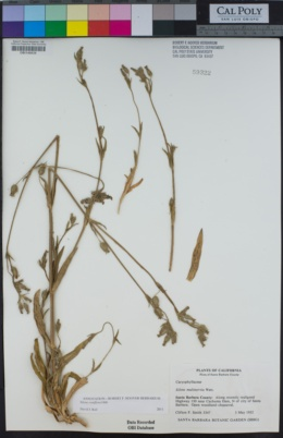 Image of Silene coniflora
