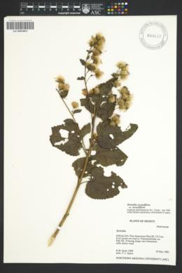 Brickellia secundiflora var. secundiflora image