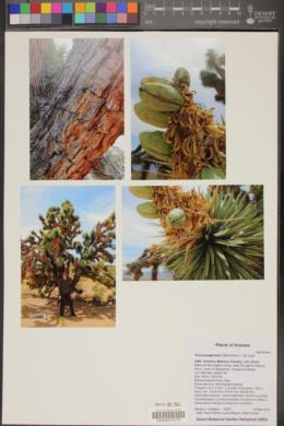 Yucca jaegeriana image