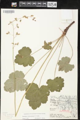 Heuchera richardsonii image