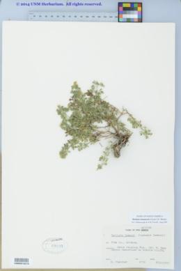Perityle lemmonii image