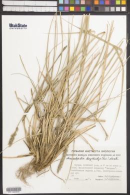 Leymus secalinus image