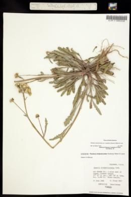 Image of Packera tridenticulata