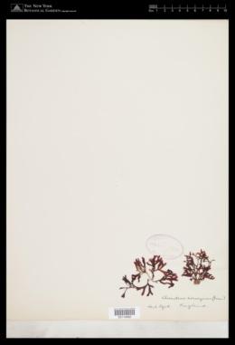 Acrochaetium virgatulum image