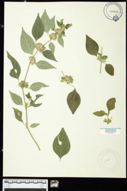 Dicliptera chinensis image