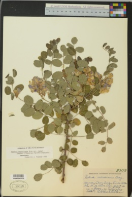 Robinia neomexicana var. rusbyi image