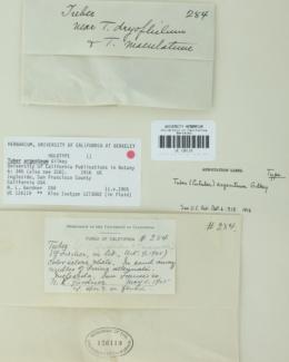 Image of Tuber argenteum