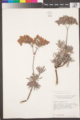 Image of Eriogonum arborescens