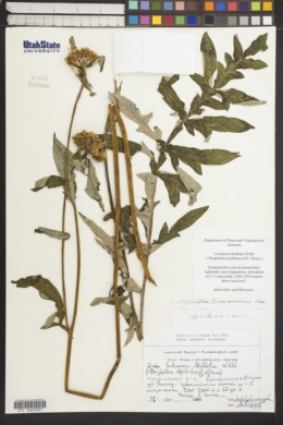 Image of Centaurea dealbata