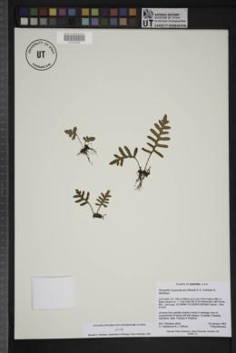 Pleopeltis riograndensis image