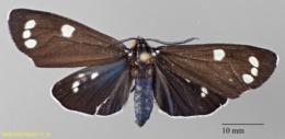 Gnophaela clappiana image