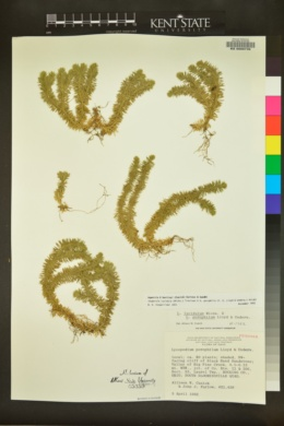 Huperzia × bartleyi image