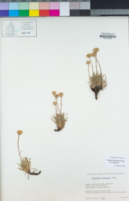 Erigeron bloomeri image