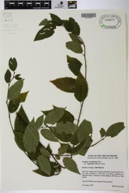 Carpinus caroliniana var. virginiana image