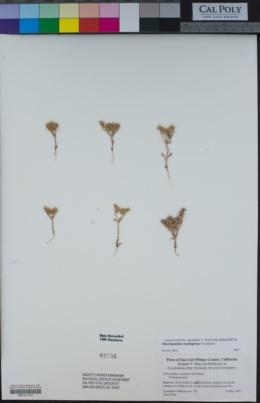 Chorizanthe rectispina image