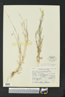 Polypogon viridis image