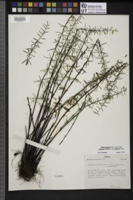 Pellaea ternifolia subsp. arizonica image