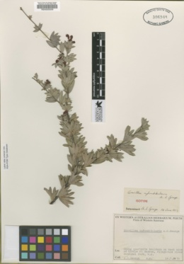 Image of Grevillea infundibularis