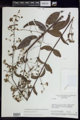 Image of Banisteriopsis hatschbachii