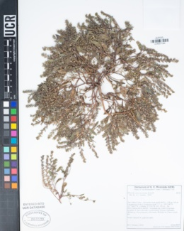 Phacelia austromontana image
